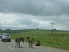 r68-cattle-on-road-1