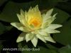 Beaconvlei -  water lillies (4)
