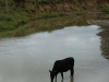 Blood River - cattle in river below site -  (1)