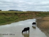 Blood River - cattle in river below site -  (2)