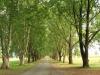 Baynesfield - Entrance - Avenue of trees (2)