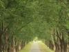 Baynesfield  - Entrance - Avenue of trees f5 (8)