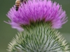 Aird farm thistle (1)