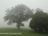 Beverley oak tree