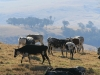 corrie-lynn-cattle-scapes-1