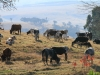corrie-lynn-cattle-scapes-4