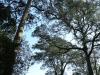 Dargle Farm - old Yellowwod trees (1)