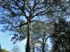 Dargle Farm - old Yellowwod trees (2)