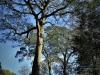 Dargle Farm - old Yellowwod trees (3)