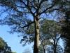Dargle Farm - old Yellowwod trees (4)
