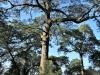 Dargle Farm - old Yellowwod trees (7)