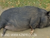 Dargle Valley Kilgobbin pet pig. (1)