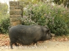 Dargle Valley Kilgobbin pet pig. (2)