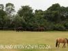 Kilgobbin horses (2)