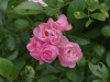 Dargle - St Andrews Church - Roses in garden -  (2)