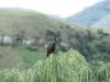 Lake Navarone crested eagle (1)