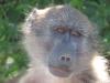Didima - Baboons (8)