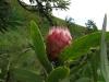 Didima - Proteas (1)
