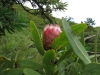 Didima - Proteas (3)