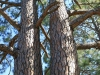 Dundee Cemetery - Grave - Pine trees
