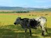 Dundee - Lennox farm - Nguni heiffer (1)