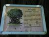 Botanic-Gardens-Banyan-Tree-plaque