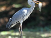 Botanic-Gardens-Grey-Heron-Fishing-1