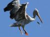 Botanic-Gardens-Pelicans-51