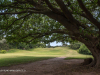 Durban Country Club - Giant fig tree (1)