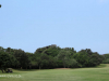 Durban Country Club - Giant fig tree (2)