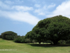 Durban Country Club - Giant fig tree (3)