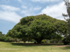 Durban Country Club - Giant fig tree (4)