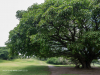 Durban Country Club - Giant fig tree (5)
