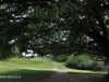 Durban Country Club - Giant fig tree (6)