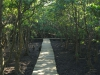 Beachwood Mangrove Nature Reserve -  Board Walks (4)