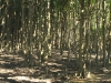 Beachwood Mangrove Nature Reserve -  Trees (2)