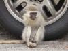 durban-glenwood-univ-of-kzn-monkeys-s-29-51-996-e30-58-956-elev-141m-63