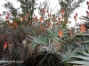 Klipfontein Farm Aloes (2)
