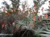 Klipfontein Farm Aloes (2)