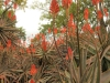 Klipfontein Farm Aloes (3)