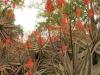 Klipfontein Farm Aloes (3)
