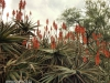 Klipfontein Farm Aloes (4)