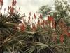 Klipfontein Farm Aloes (4)