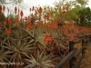 Klipfontein Farm Aloes (5)