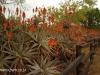 Klipfontein Farm Aloes (5)