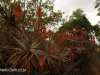 Klipfontein Farm Aloes (6)