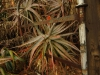 Klipfontein Farm Aloes (7)