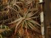 Klipfontein Farm Aloes (7)