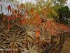 Klipfontein Farm Aloes (8)