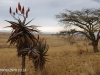 Klipfontein Farm Aloes (9)